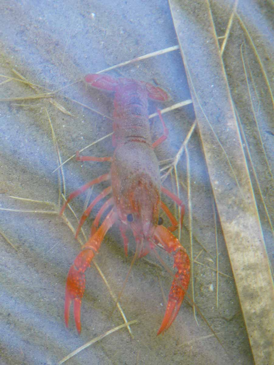Thousand Palms, California: a crayfish, in McCallum Pond at the Coachella Valley Preserve, is one of the inspirations for the Sea Creatures Collection of silver and turquoise jewelry by Kamila Kubelik.